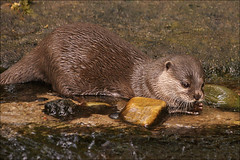 Asian Small-clawed Otter 1 | by Foto Martien