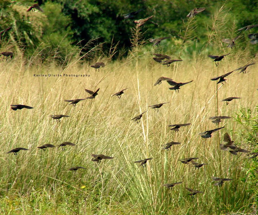 Tordos renegridos / Shiny Cowbird