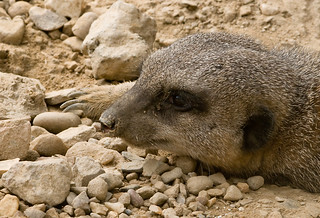 My cousin Aleksandr, he is lucky fellow. He on TV all of time while I have to make best of digging here.  Life is not fair for us meerkats, I will have to send him letter, maybe he will help me. | by Throwgnilloh Lien