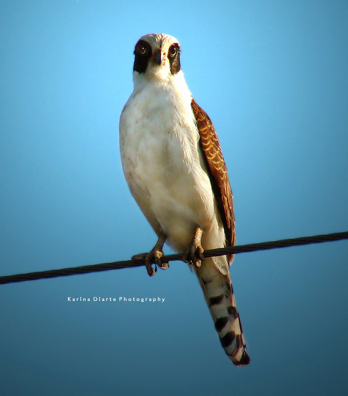 Halcón Guaicurú / Laughing Falcon