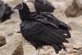 Black Vulture | by gregpage1465