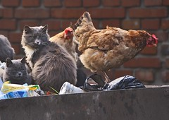 cats and chickens of Luboml