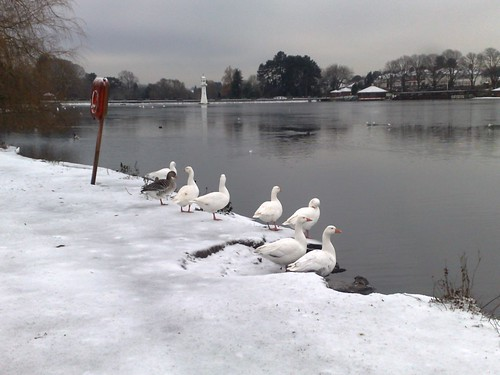 Geese on the Edge of Roath Lake | by princess5exyface