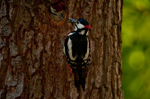Great Spotted Woodpecker2 | by kierannutt1995