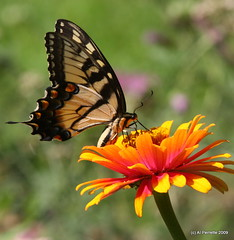 Swallowtail Sipping Nectar | by Al Perrette