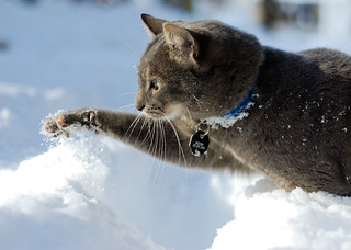 Cat playing in snow | by Laurent L.