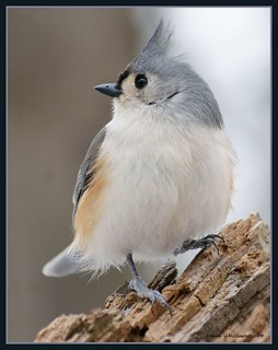 Tufted titmouse | by gerstat