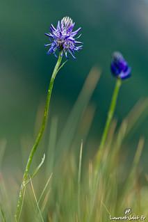 fleur de montagne bleue fleur de montagne bleue raiponce flickr. Black Bedroom Furniture Sets. Home Design Ideas