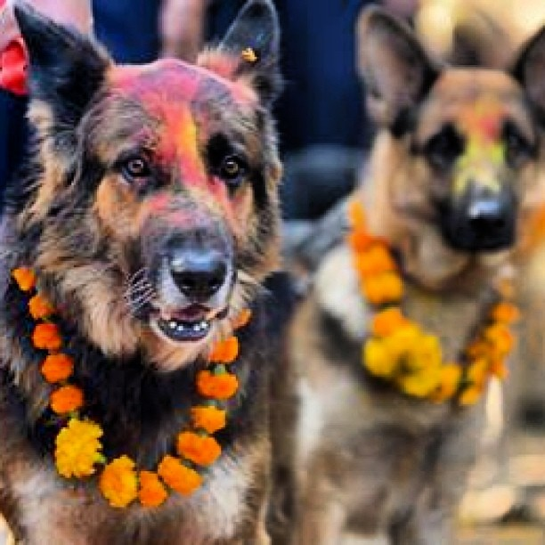 Police dogs blessed during Tihar Festival #colour #color #november #gsd