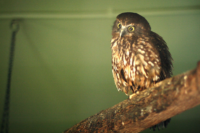 Morepork at Hamilton Zoo