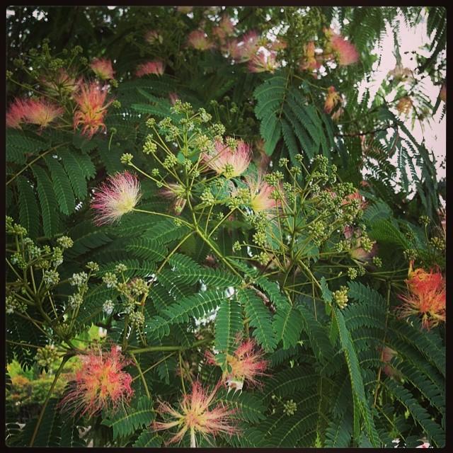 みずいろ公園の一本道路挟んだ向い側の、背の低いネムノキが花をつけている。