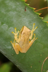 treefrog, Doi Inthanon National Park, Thailand, 2003-09-12 (1 of 3).jpg