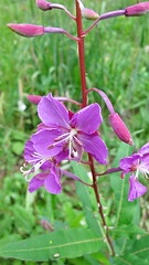 Fireweed - San Juan Mountains Field Institute