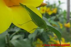 Yamoussoukro - cricket