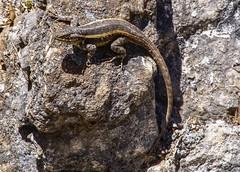 Lizard B198932focPr