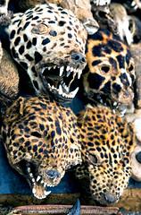 Wildcat Heads Togo Voodoo