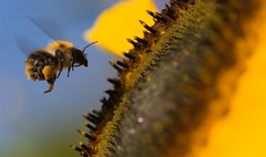 Sunflower and bumblebee - Bee in Flight (close up) by Nick Layton Photography