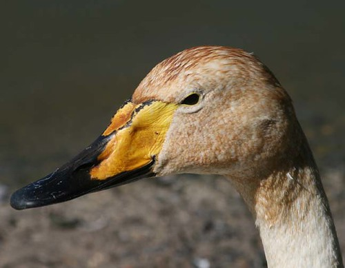 Bewick Swan | by JDPhotography -
