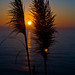 Pompous Grass Pacific Coast Sunset