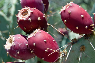 Prickly Pear Cactus Fruit | by desertdutchman