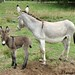 The Daily Donkey 133 - Daphne and Baby Fernando