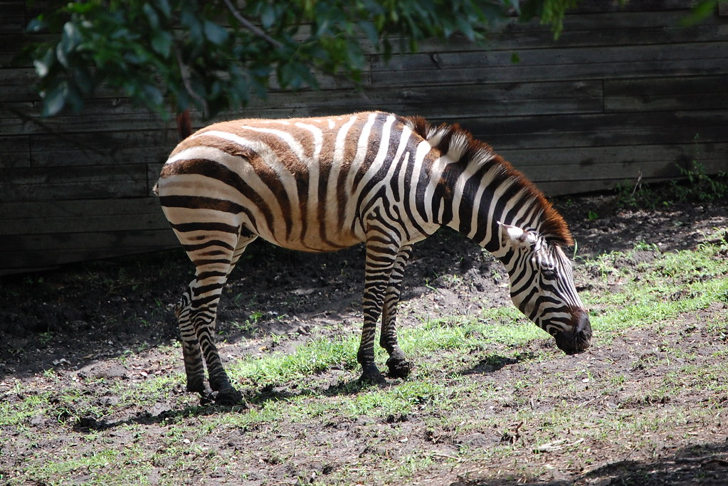 Zebra at Blank Park Zoo in Des Moines, Iowa. | Zebra grazing ...