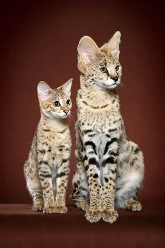 "Savannah Cat savannahcatshoppe.com | by Savannah Cat F1 ""Scarlett's Magic"""