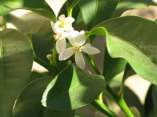 Kumquat blossoms