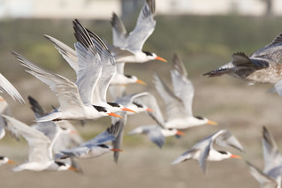 Elegant Tern Flock (Thalasseus elegans) flock on Morro Strand