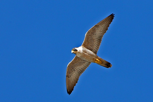 Peregrine Falcon enhanced-peregrine-falcon-1407 | by mikebaird