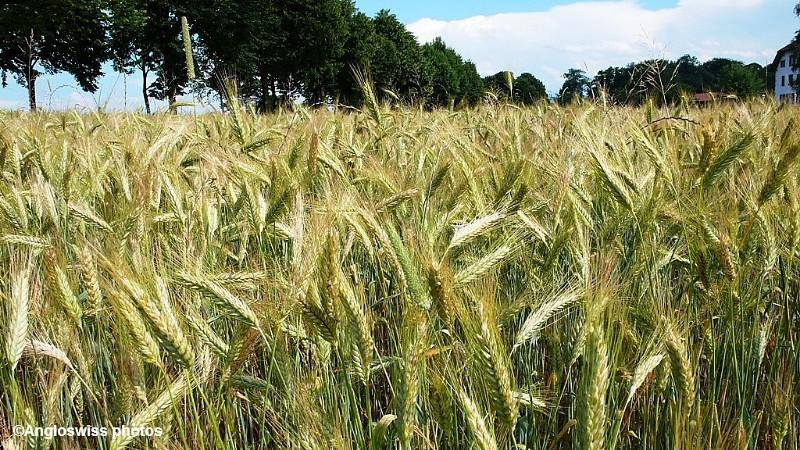 Wheat field in Feldbrunnen