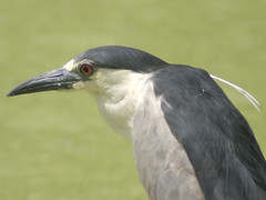 Black-crowned Night Heron (Nycticorax nycticorax) by fotojoet