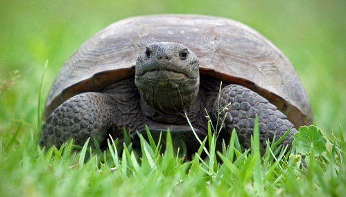 Florida's Gopher Tortoise | by minds-eye