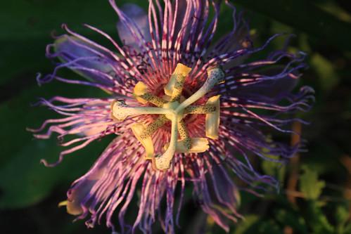Passionflower, Passiflora incarnata