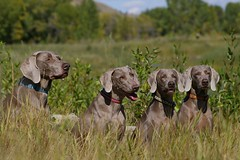 the Wilson weims | by sarah ...