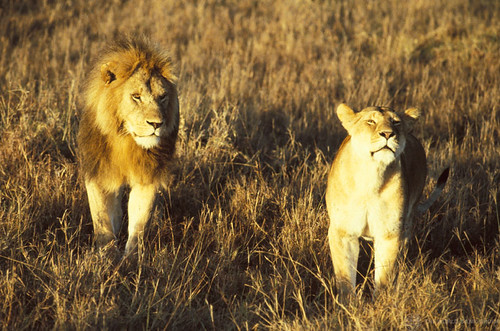 A pair of lions | by World Bank Photo Collection