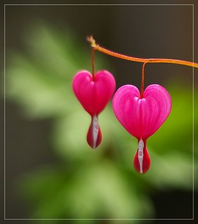 Bleeding heart | by Little♥Krawler