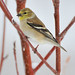 American Goldfinch1