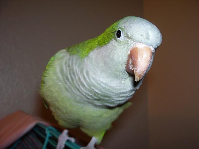 how to train a quaker parrot