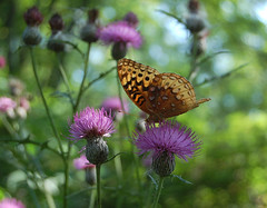 Great Spangled Fritillary and Thistles by pchgorman