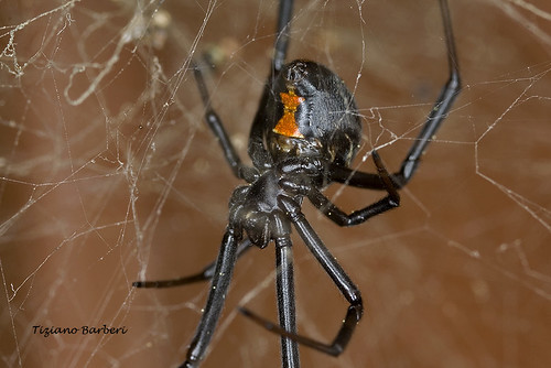 Black widow spider (Latrodectus Mactans) | by tizianophotos