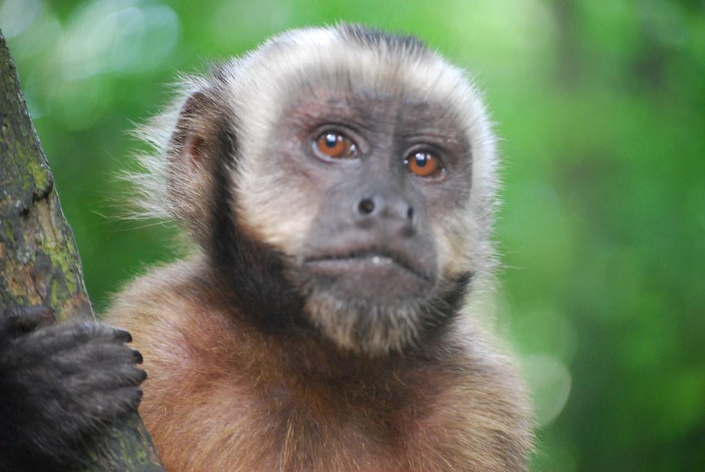 Capuchin Monkey Pictures Capuchin Monkey Closeup