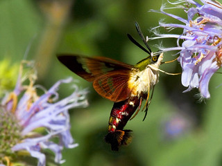 Hummingbird Moth | by Uncle Phooey