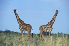 Giraffes | by World Bank Photo Collection