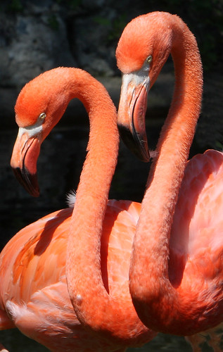 Flamingo pair | by John Kuk