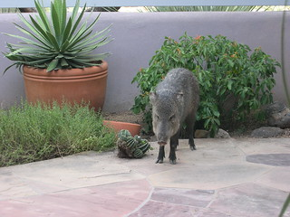 Javelina in the front yard | by midwinter