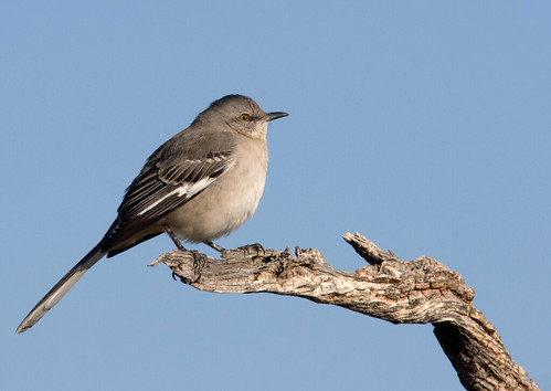 Mockingbird on a limb | by Joan Gellatly
