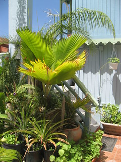 Palmetto Guesthouse Courtyard Plants | by palmettoculebra