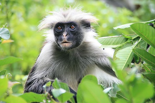 Red colobus monkey - Zanzibar