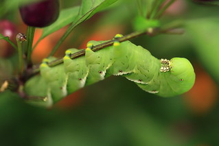 Tomato Hornworm on Pepper Plant | by wormwould